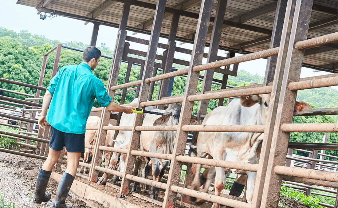 Man scanning cattle for microchips