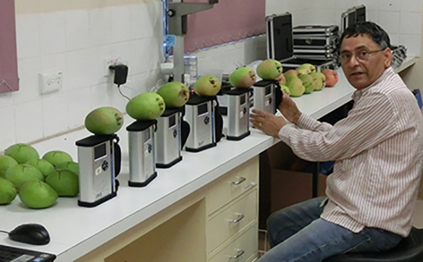 Man sitting in front a row of mangoes on an infrared device